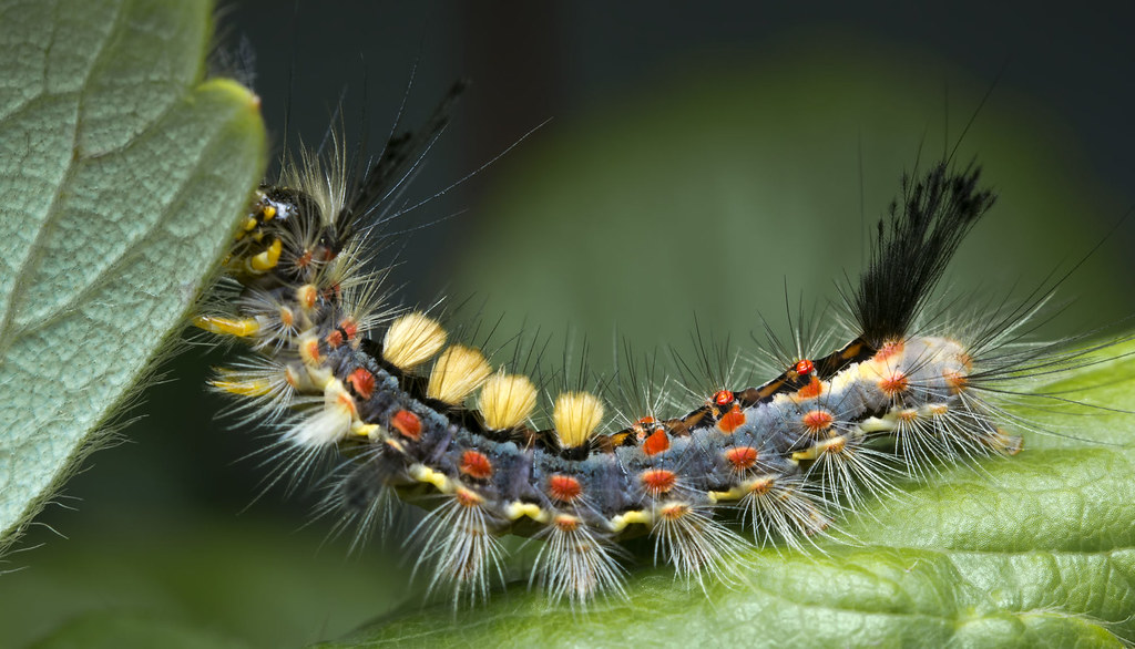 Orgyia antiqua, Rusty tussock moth, Vapourer | Znamionówka ...