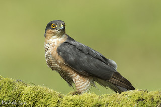 Sparrowhawk | by happygrumpz