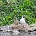 Black-headed Gull with chick