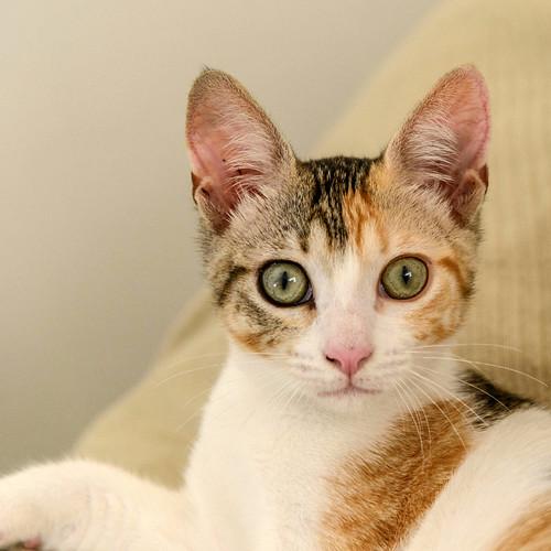Lorna, monísima tricolor jaspeada nacida en Abril´17, en adopción. Valencia. ADOPTADA. 36309045865_d2e49d0b3f