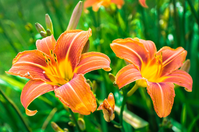 Day Lily, Day Lilies, Lily, Lilies, Flowers