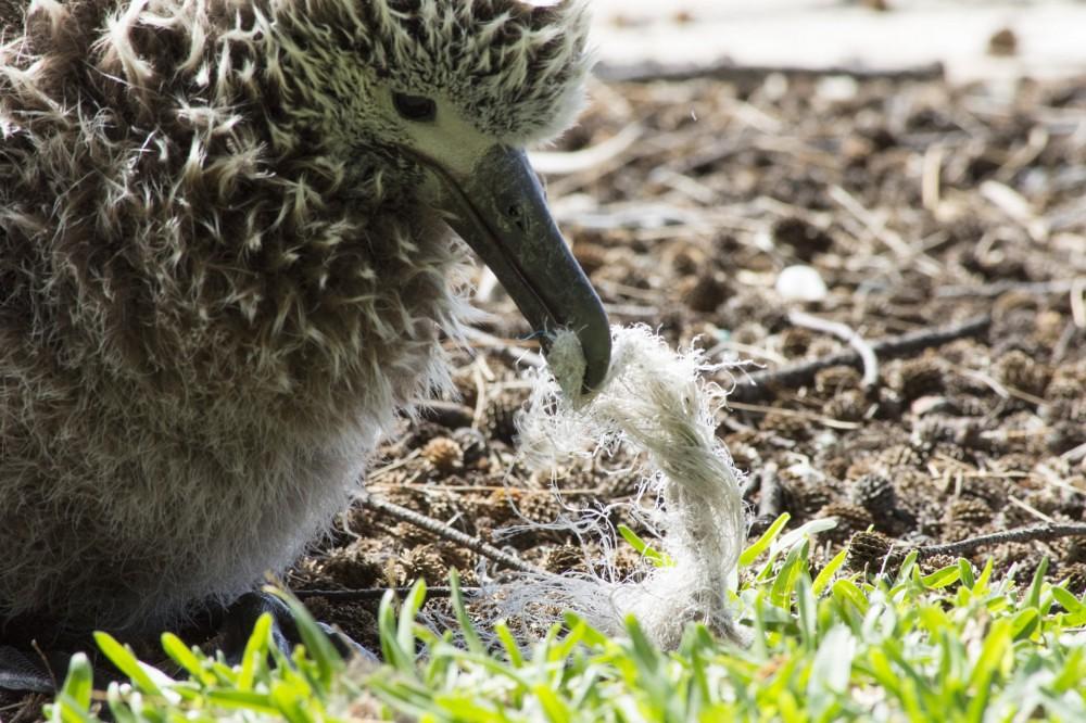 中途島上的信天翁幼鳥啄起塑膠垃圾。來源:Holly Richards/USFWS。