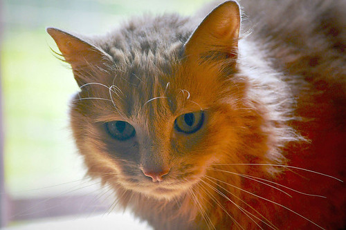 Blondie, gata Angora vainilla tímida y dulce esterilizada, nacida en Abril´13, en adopción. Valencia. ADOPTADA. 35790905370_8977478b8d