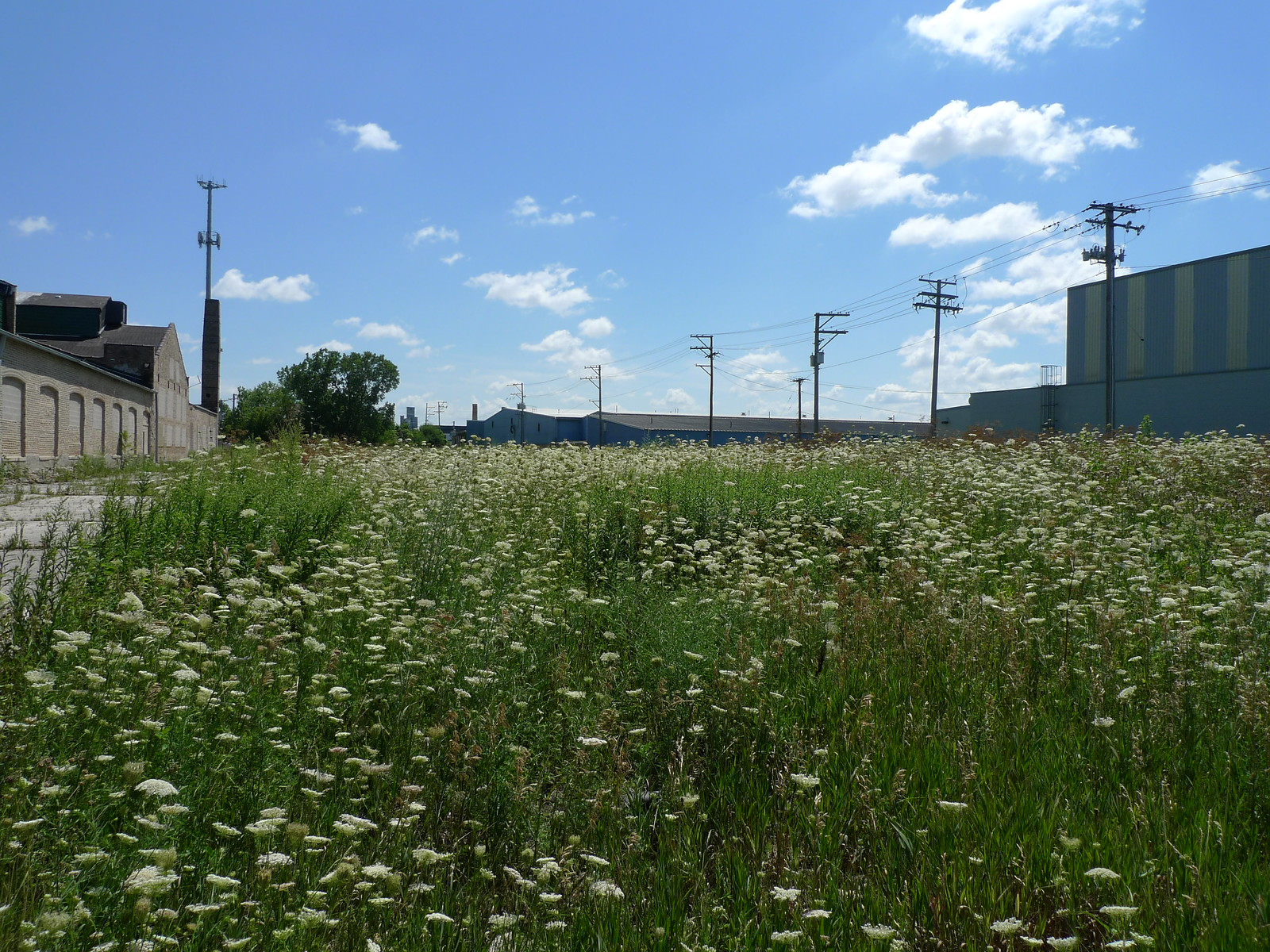 field of Queen Anne's Lace | by find myself a city (1001 Afternoons in Chicago)