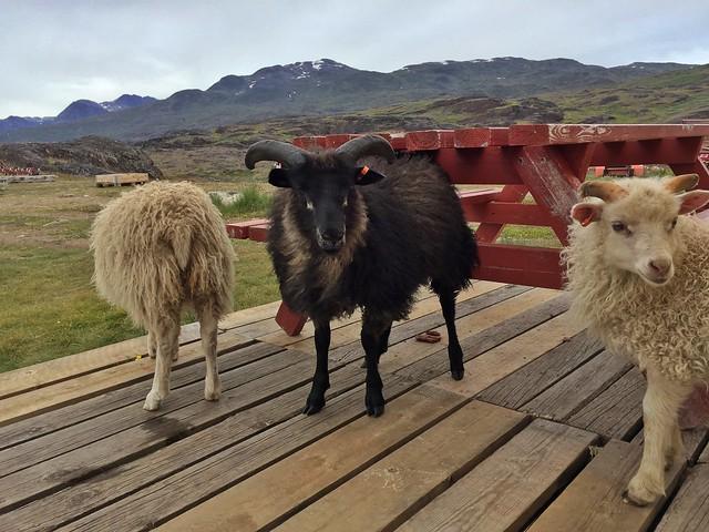 Ovejas en Tasiusaq (Groenlandia)