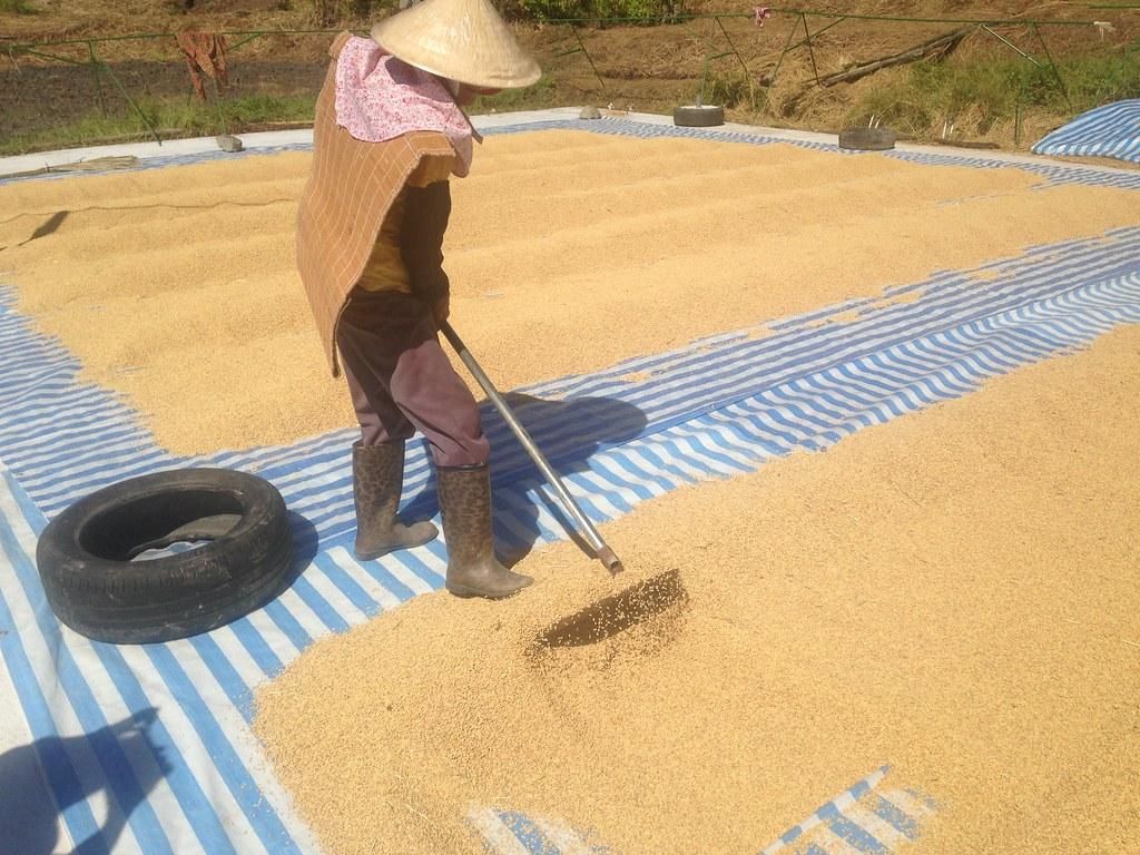 噶瑪蘭族新社部落以古法曬穀,讓種植更友善環境。攝影:廖靜蕙