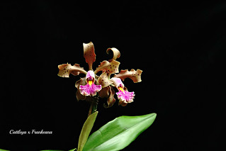 Cattleya x Frankeana | by emmily1955