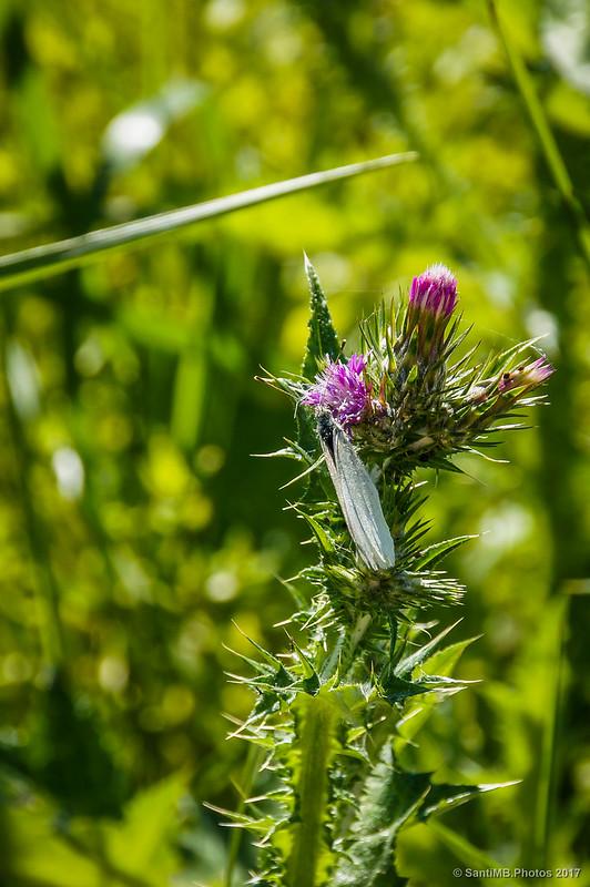 Blanquita de la col en flor de cardo