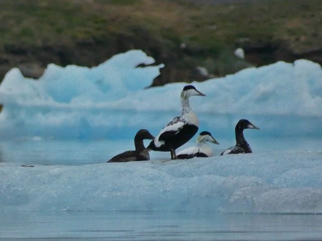 Edieres en Tasiusaq (Kayak en Groenlandia)
