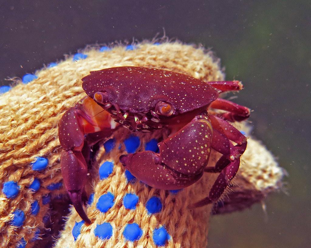 Baby stone crab, Panam...