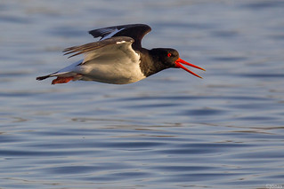 Tjaldur / Oyster Catcher | by Jonas Ottos
