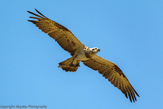 Healesville Sanctuary's Osprey | by Graham Mahoney