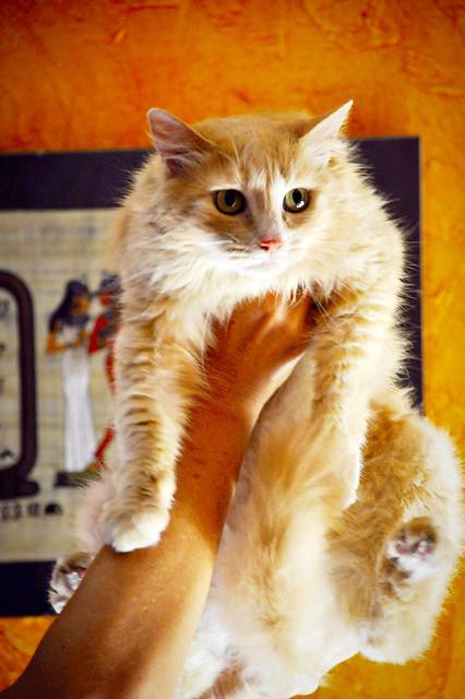 Blondie, gata Angora vainilla tímida y dulce esterilizada, nacida en Abril´13, en adopción. Valencia. ADOPTADA. 36047971871_cc1d603ce4_z