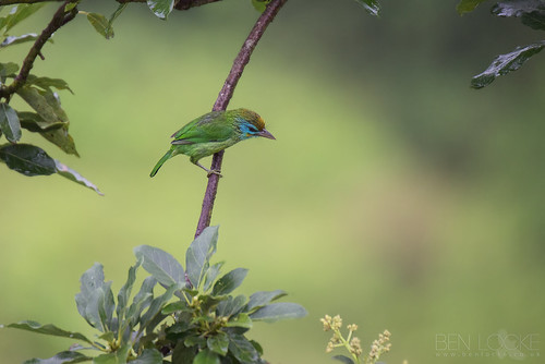 Yellow-fronted Barbet | by Ben Locke.