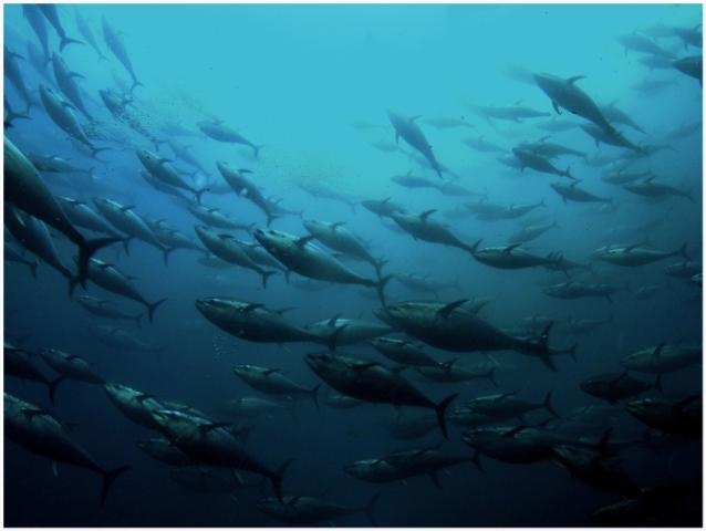 黑鮪魚是大範圍洄游魚種。圖片來源:Aziz SALTIK(CC BY-NC-ND 2.0)