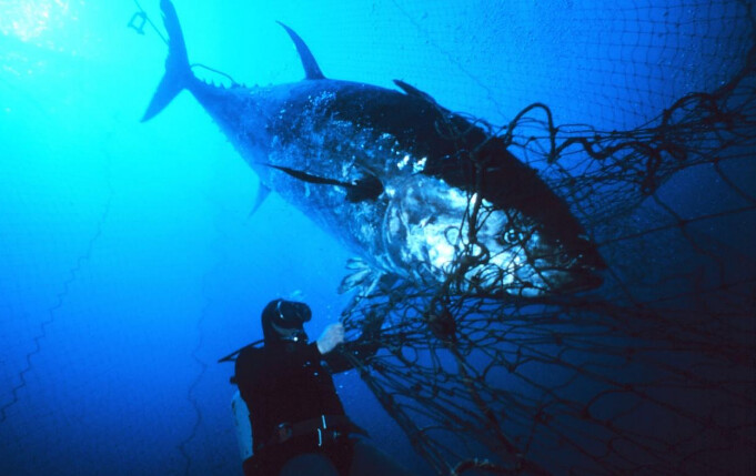 因為過度捕撈,黑鮪魚面臨滅絕的威脅。圖片來源:www.uux.cn