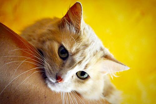 Blondie, gata Angora vainilla tímida y dulce esterilizada, nacida en Abril´13, en adopción. Valencia. ADOPTADA. 36047970541_1b2815b33e