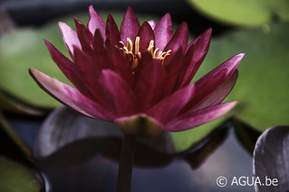 Nymphaea Perry's Red Blaze 1989