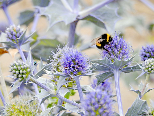 Bumblebee and a leaf beetle on Sea holly | by Corine Bliek