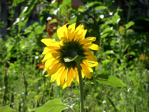 Blüte einer Sonnenblume von hinten und im Gegenlicht aufgenommen