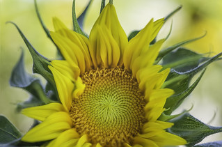 What does math have to do with the sunflower? | by pixelmama