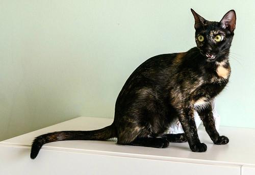 Vega, gatita Carey mimosona y divertida esterilizada, nacida en Octubre´16, en adopción. Valencia. ADOPTADA. 36141682832_b0865ace3e
