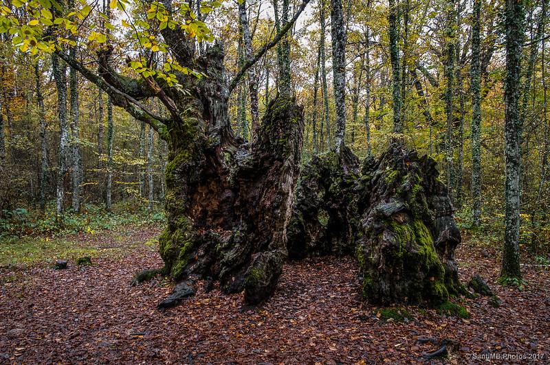Tronco hueco en el bosque de los Robles Milenarios