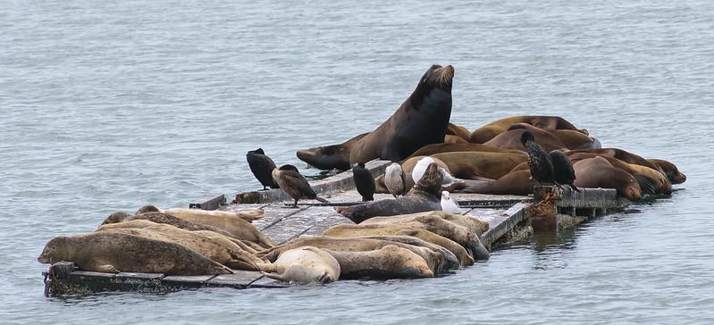 Focas y leones marinos compartiendo espacio en Crescent City, California. Océano Pacífico.