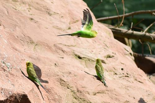 Wormer Tiergarten Wellensittiche Freifluganlage Voliere Australien-Voliere ... Foto: Brigitte Stolle, Mannheim