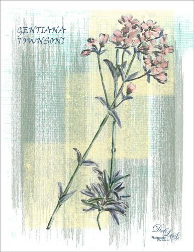 Sketch of a New Zealand Flower