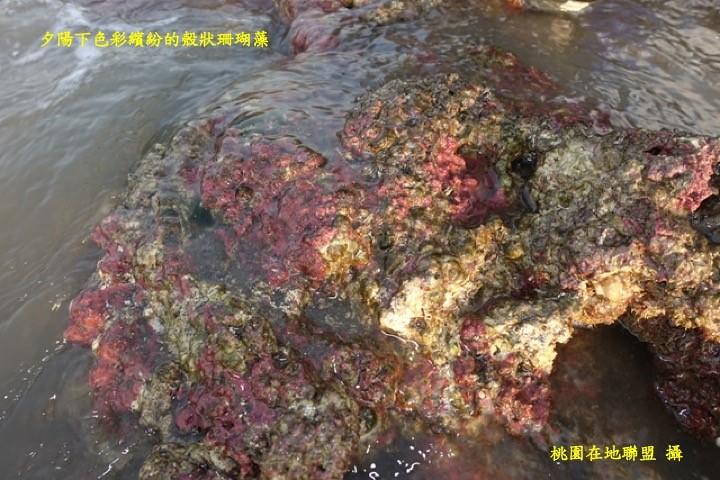 夕陽下色彩繽紛的殼狀珊瑚藻(桃園在地聯盟攝)