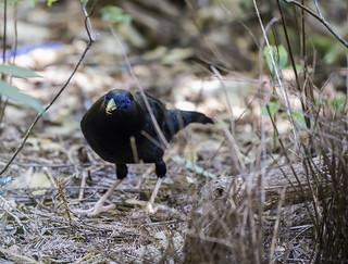 Satin Bower Bird (1) | by bidkev1 and son (see profile)