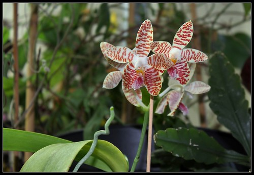 Phalaenopsis sumatrana South Thailand (2) | by Neira Magic'B