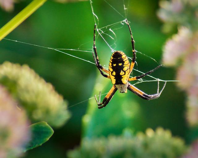 Spider, Garden Spider, Yellow Garden Spider, Arachnid