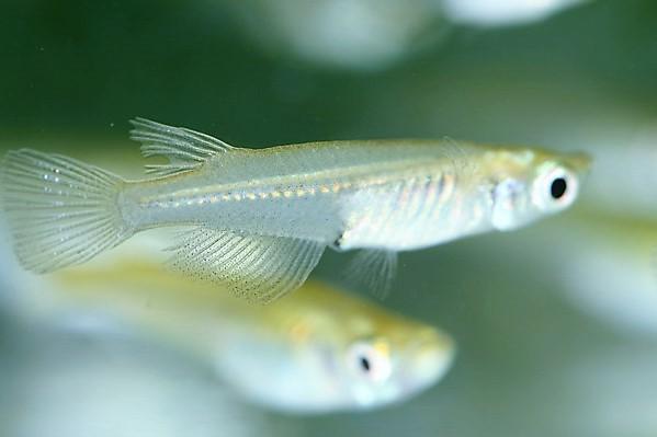 青鱂魚(雄)。照片提供/鍾宸瑞