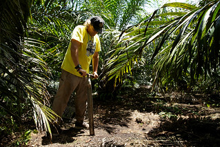 Sampling on a oil plant plantation | by CIFOR
