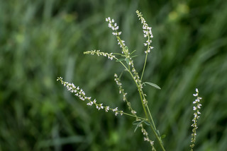 White Sweet Clover | by Stephen Downes