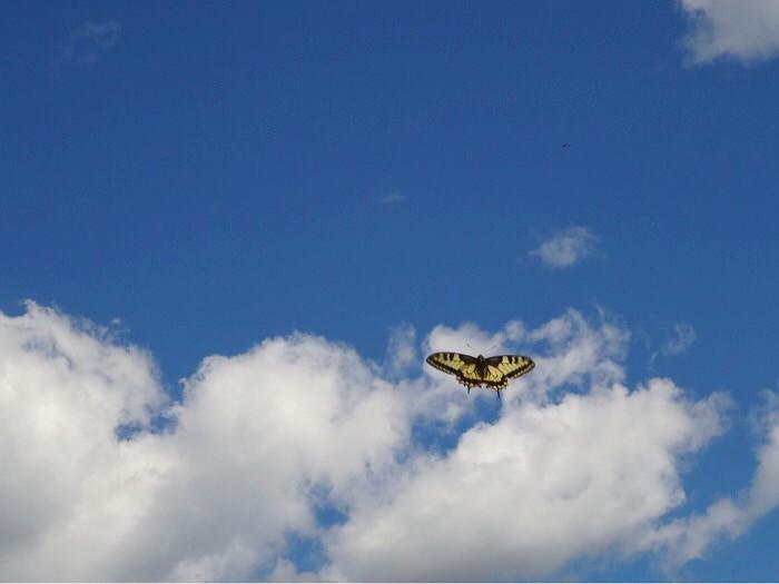 lentävä ritariperhonen