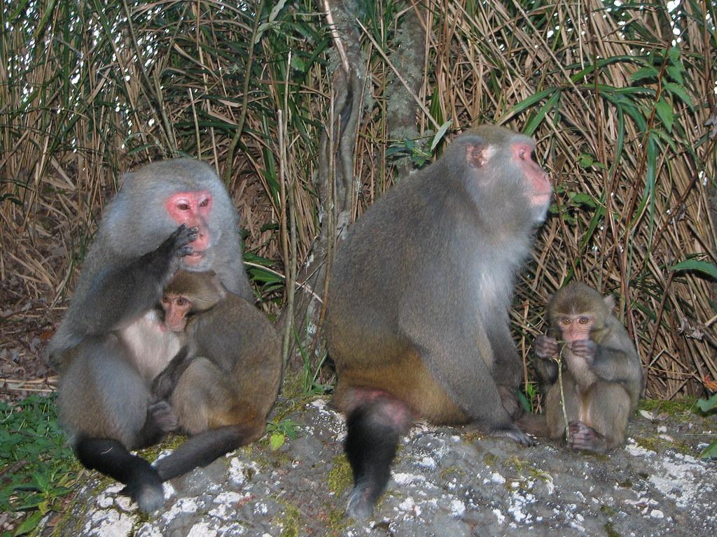 判斷危害獼猴狀態有助於對防治手段進行後續規劃。張仕緯提供。