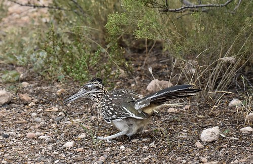 Greater Roadrunner (Geococcyx californianus) | by mitchberk
