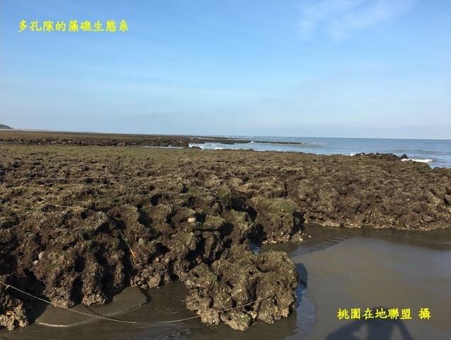 多孔隙的藻礁生態系(桃園在地聯盟攝)