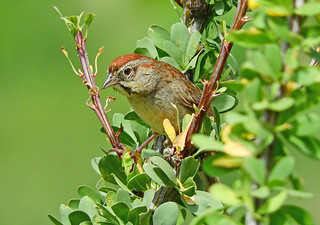 =Sparrow-Rufous-crowned-AZ-BoxCnyn-DSCN0480 copy 2 | by Tricolor Brian