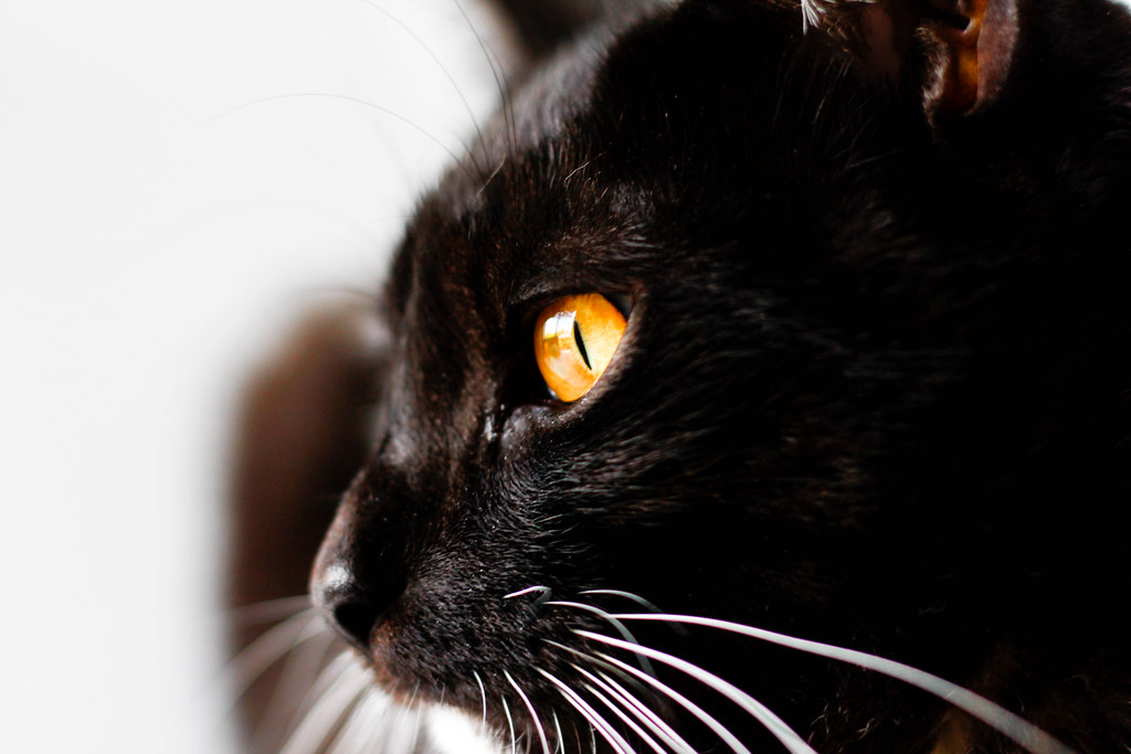 Cat With Black Ear Wax