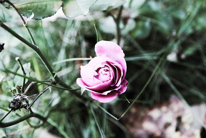 ruusun nuppu