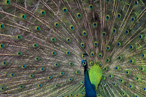 Indian Peafowl | by Ben Locke.