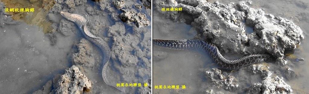 淡網紋裸胸鯙與疏斑裸胸鯙。桃園在地聯盟攝。