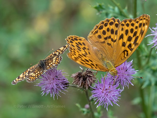 Silver-washed and Knapweed Fritillaries sharing flowers. | by ArtFrames
