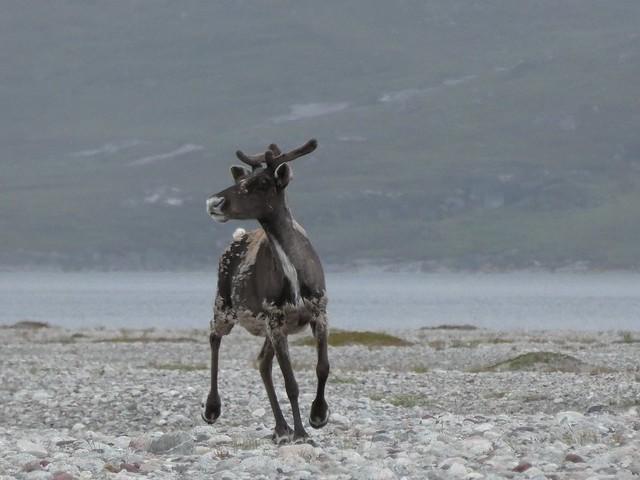 Caribú en Qaleraliq (Sur de Groenlandia)