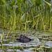Beaver turtle pond petrie island 03072015_DSC6551