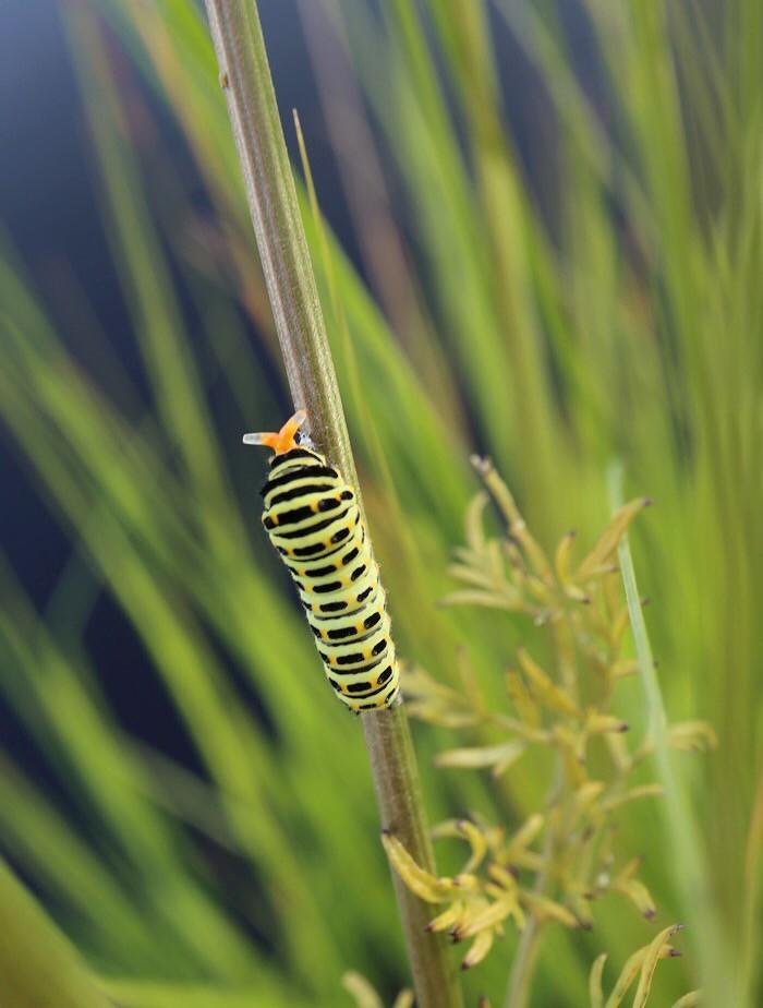 Uhattuna toukka työntää punaiset sarvet esiin